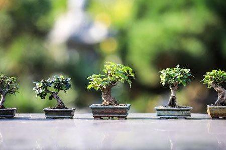 bonsai arboles semillas kits herramientas y productos