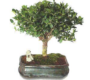 como cuidar un bonsai de buxus