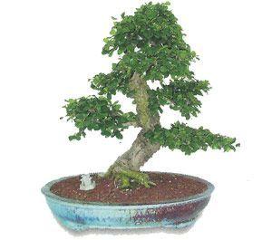 como cuidar un bonsai de carmona