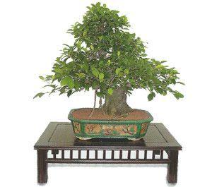como cuidar un bonsai de ficus retusa