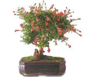 como cuidar un bonsai de granado