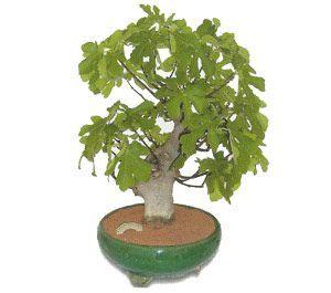 como cuidar un bonsai de higuera