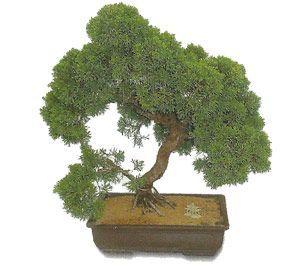 como cuidar un bonsai de junipero