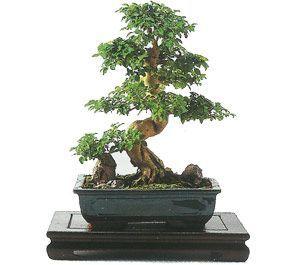 como cuidar un bonsai de ligustrum
