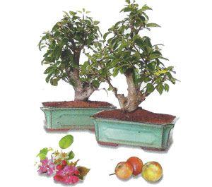 como cuidar un bonsai de manzano