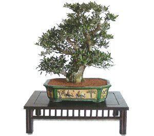 como cuidar un bonsai de olivo