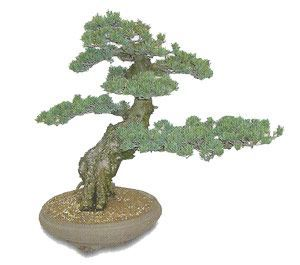 como cuidar un bonsai de pinus pentaphylla