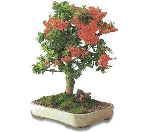 como cuidar un bonsai de pyracantha