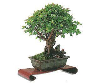 como cuidar un bonsai de sageretia 1