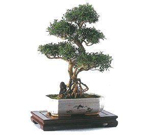 como cuidar un bonsai de serissa