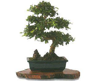 como cuidar un bonsai de zelkova