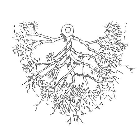 como pinzar las coniferas bonsai de hoja escamosa 1