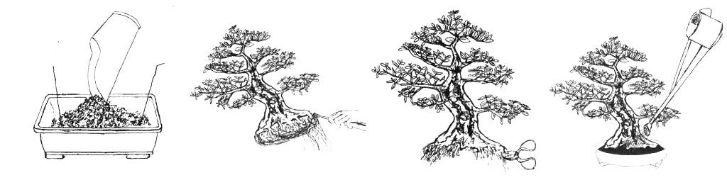 como trasplantar un bonsai 1